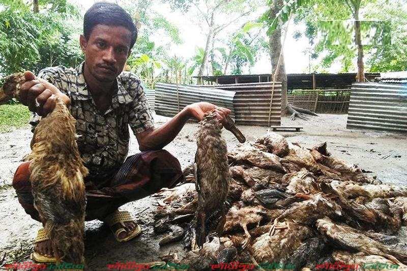 গৌরীপুরে প্লেগ রোগে মরল খামারির ৩২০০ হাঁস