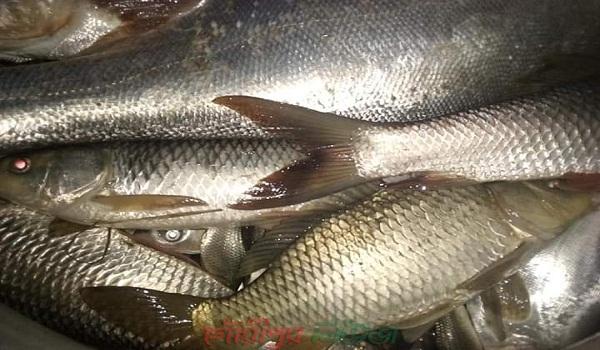 গৌরীপুরে বিষ প্রয়োগে মৎস্য চাষীর পুকুরে মাছ নিধনের অভিযোগ