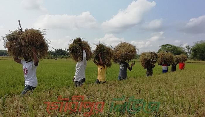 গৌরীপুরে বেকারকান্দায় দরিদ্র কৃষকের ধান কেটে দিলো ছাত্রলীগ
