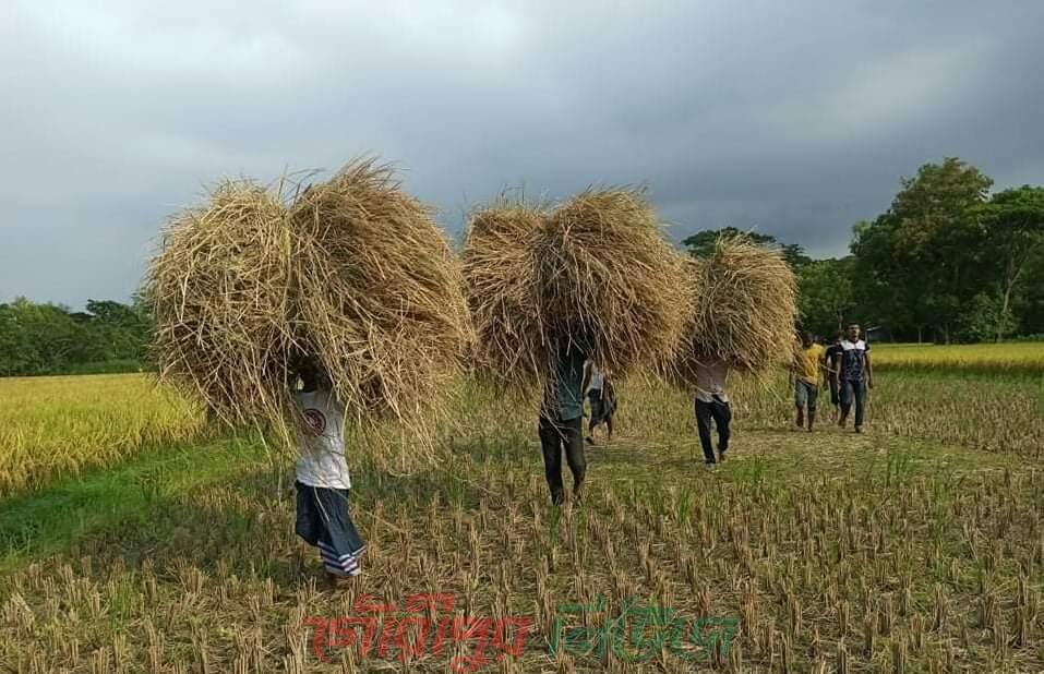 গৌরীপুরে টানা ২২ দিন দরিদ্র কৃষকের ধান কাটলো ছাত্রলীগ