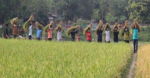 ময়মনসিংহে কৃষকের ধান কেটে দিলেন ছাত্রলীগ নেতা জুয়েল